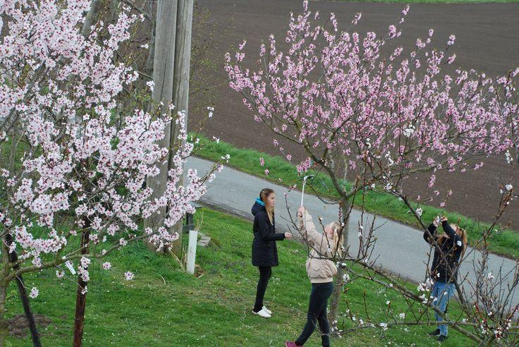 Blomstrende mandeltræer på Fejø fotograferes flittigt - også med selfiestick