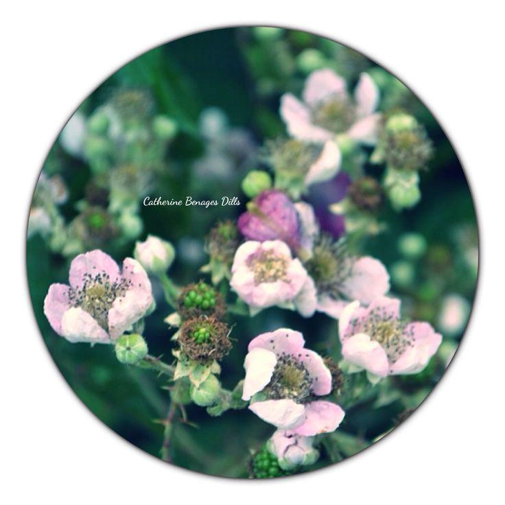 Blackberry flowers.  #blackberries #blackberryflowers #berries