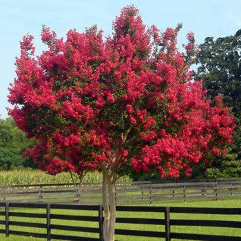 17 Best Ideas About Small Ornamental Trees On Pinterest