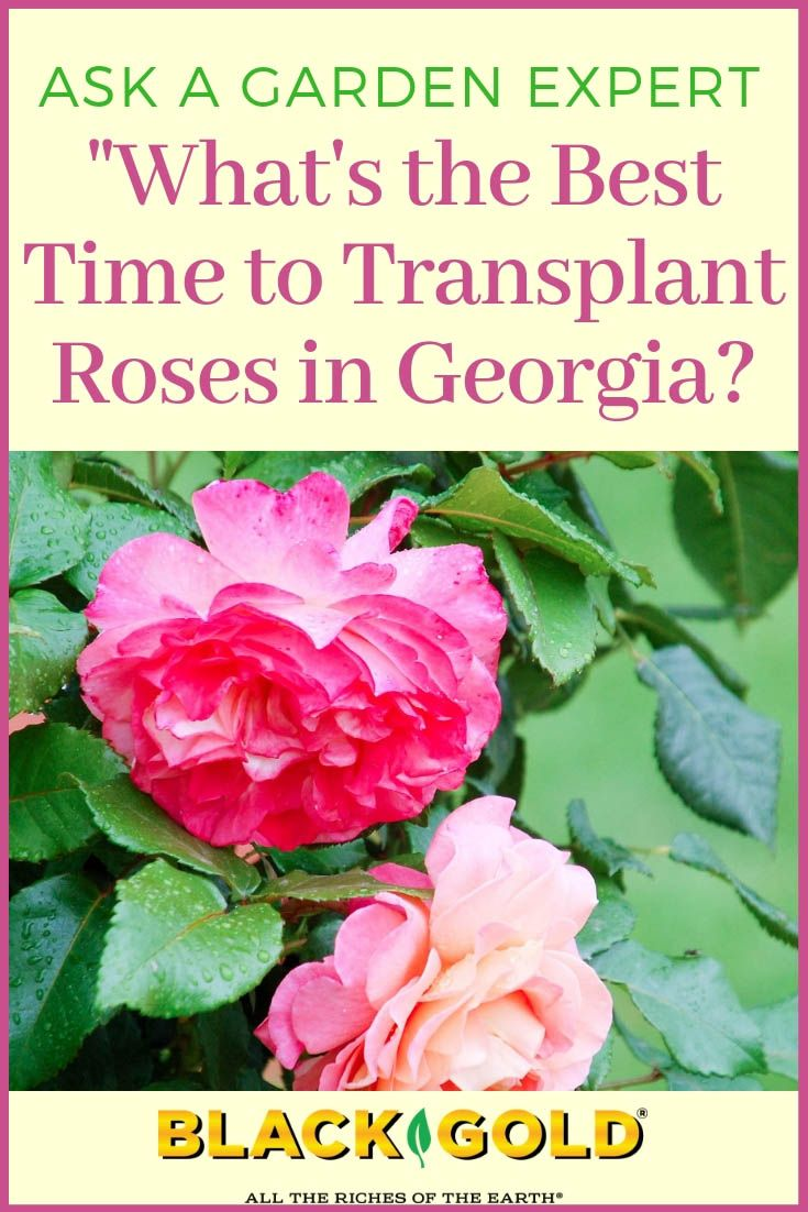 Best Time To Transplant Roses In Georgia Or Down South Transplanting Roses When To Plant Roses Climbing Rose Plants
