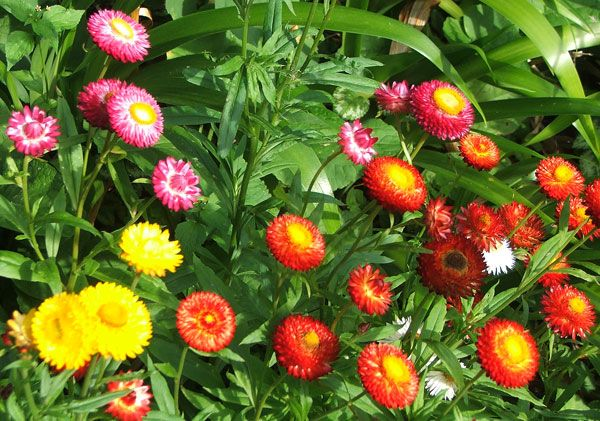 Good Witches Magickal Flowers And Herbs: Strawflower