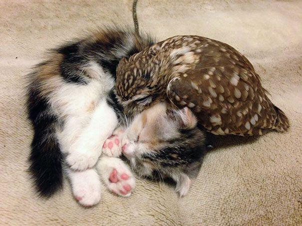 Voilà ce qu'il se passe quand un chaton et une chouette sont amis !