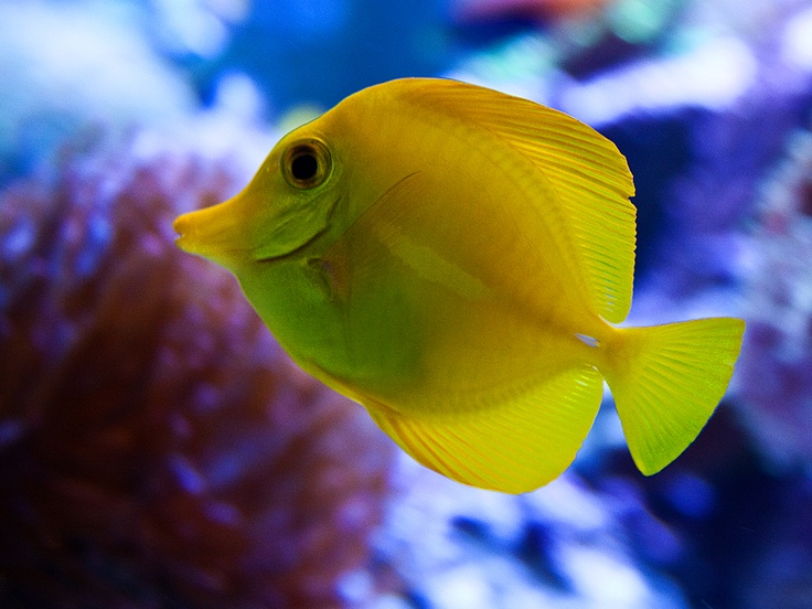 1000 images about saltwater fish on pinterest pistols for Yellow saltwater fish