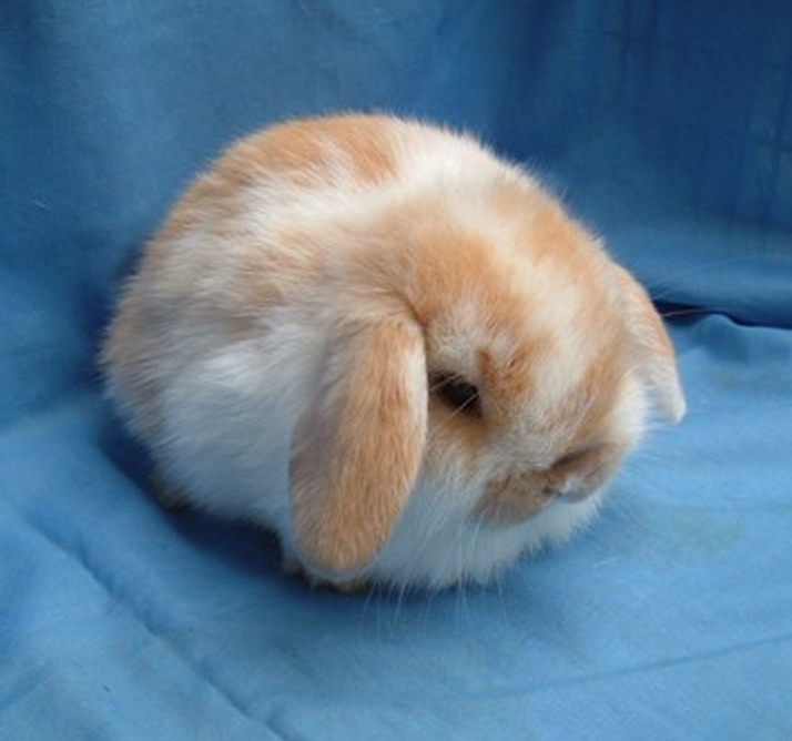 Holland Lop Baby Bunny :: 4 weeks old :: Broken Orange