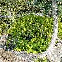 Acer Dissectum Garnet, smuk japansk ahorn