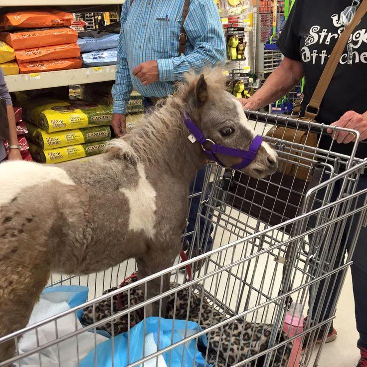 Miniature horses as pets
