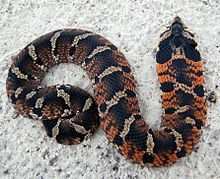 """Eastern Hognose Snake.  My first encounter with one of these was quite humorous.  Its habit of flattening out like a cobra, hissing, and striking, terrified some of the scouts in our troop, who were yelling, """"Cobra!""""  Read about its final defensive mechanism after all the hissing and striking fails to scare away its predators..."""