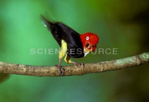 Image BX0346 (Red-capped Manakin) Red-capped #Manakin (Pipra mentalis) male calling and raising its tail, showing off its yellow feathered legs, during #courtship display, Soberania National Park, Panama. ©Marie Read/Science Source #bird #nature #images #stock #photos