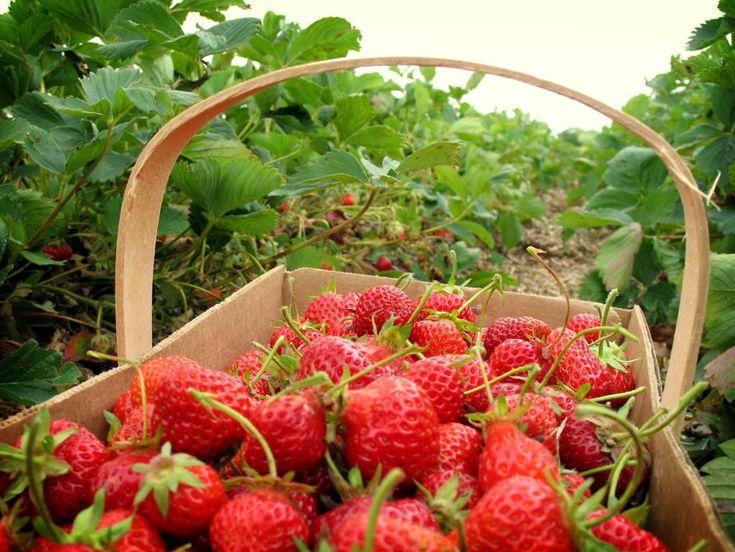 Kebun Strawberry Ciwidey Bandung - Punya Indonesia