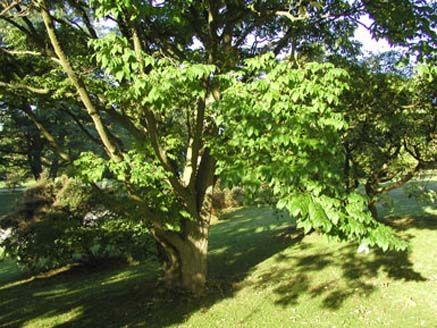 5 - Amurkorktræ: Aarhus Kommune