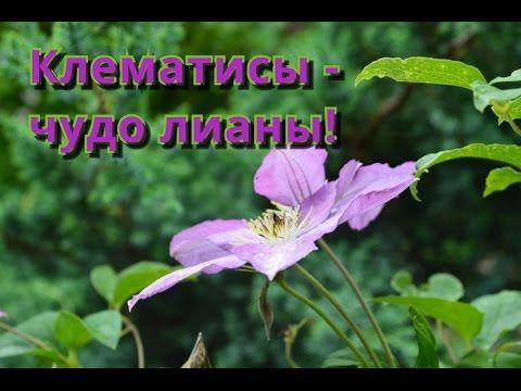 Клематис, размножение и уход. Красивая многолетняя лиана! - YouTube