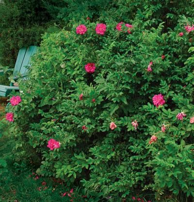 Rosa rugosa 'Dart's Dash' one of many varieties of this tough rose with a spicy scent. Marvelous display of showy hips. Establishes quickly and is a fine choice for a low hedge.