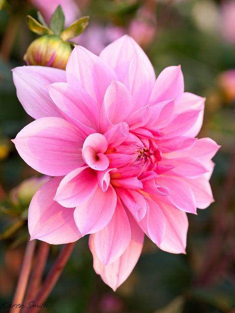 Chrysanthemum - would make a nice tattoo!