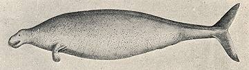 Steller's Sea Cow Drawn by George Steller