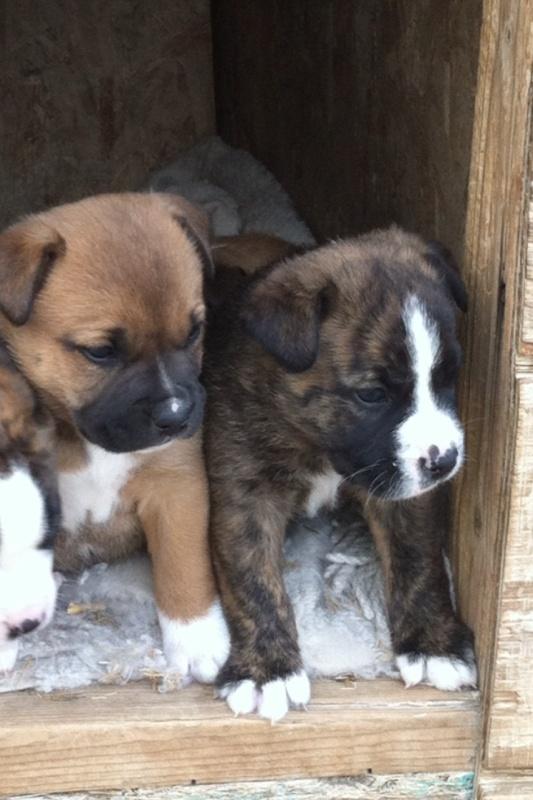 English Bulldog Border Collie Mix Animals Pinterest