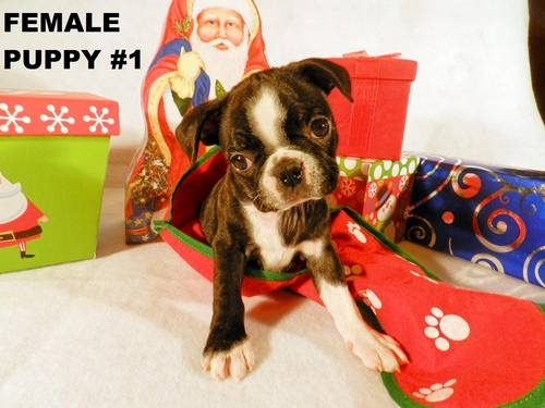 Bugg ( Boston Terrier / Pug ) puppies for sale. Available ...
