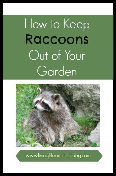 How to Keep Raccoons Out of Your Garden | garden | Garden ...