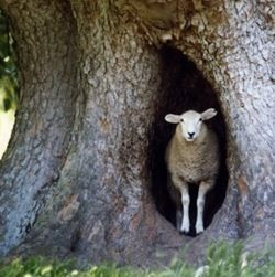 a curious sheep in a tree!