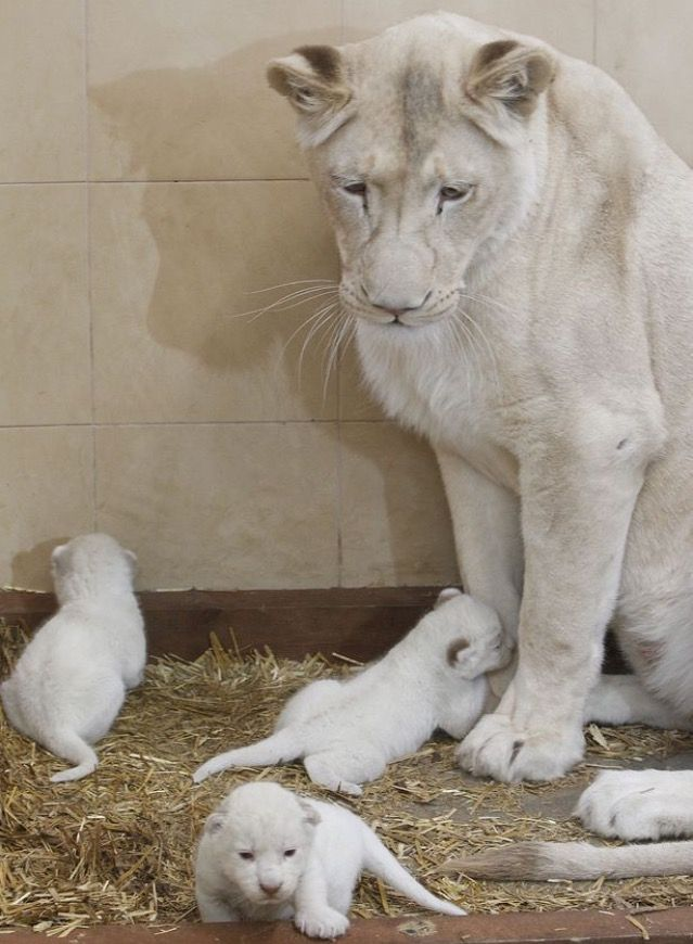 They are so cool looking! #WhiteLions #Lioness #LionCubs
