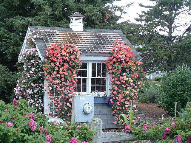 Rose per casetta da giardino for Rose da giardino