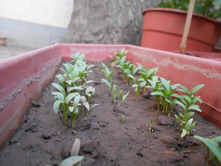 plantines de cilantro