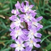 Glory-of-the-Snow: Deer and rabbit proof A charming little bulb that deserves to be a lot better known, glory-of-the-snow blooms early and bears cheery pink, blue, or white star-shape flowers. It's great for letting pop up throughout your yard.  Name: Chionodoxa luciliae  Growing Conditions: Sun or shade and moist, well-drained soil  Size: To 6 inches tall  Zones: 3-9  Native to North America: No  Learn more about glory-of-the-snow.