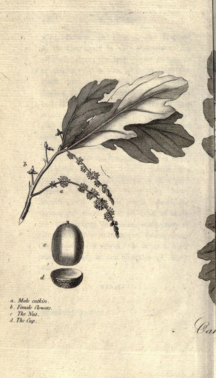 13 best acorn oak leaf images on pinterest oak leaves botanical