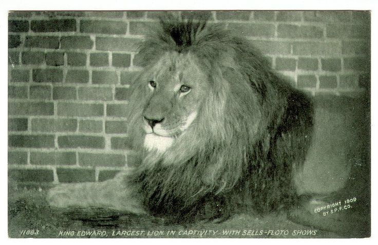 Sells-Floto Circus King Edward Largest Lion in Capativity 1909