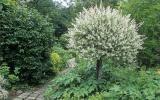 Harlekin-Weide im Garten