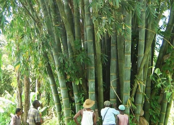 Bamboo Use - Bamboo is astounding because of its ability to grow very quickly with little water and its ability to thrive without the use of herbicides or pesticides. It also promotes economic development in Africa, Asia, and Latin America