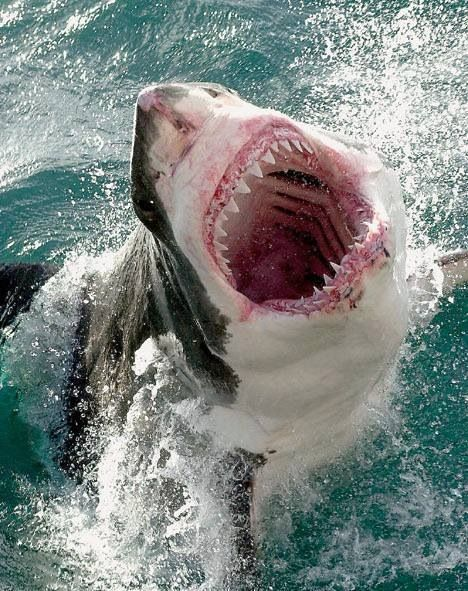 The great white shark has a big mouth with over FOUR rows of teeth, so when you are swimming the ocean, WATCH OUT!<3