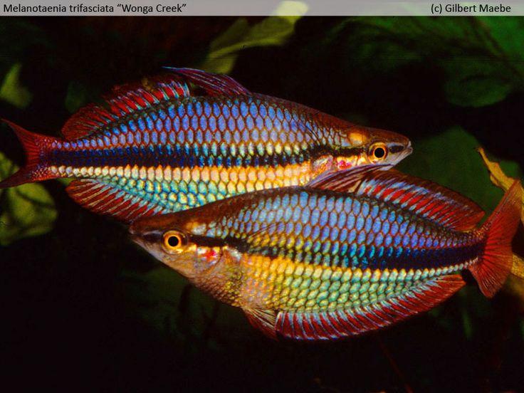 Melanotaenia trifasciata wonga creek irg belgi for Tropical rainbow fish