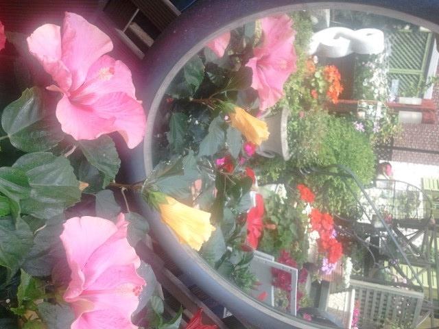 Hibiscus in the mirror, in my garden, South Korea