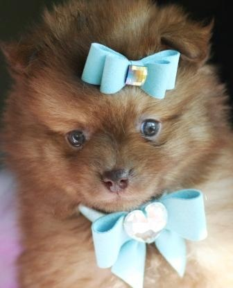 Pomeranian teacup puppy!!!