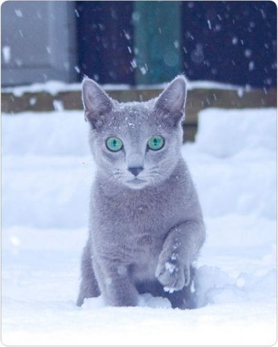 Russian blue kitty cat playing in the snow / I had a lovely Russian blue RIP Smokey / They appear to change from dark grey to silver grey in different light sources / so photographs appear to have different cats in !! So always interesting when you have a beautiful Russian blue !! ⭐️