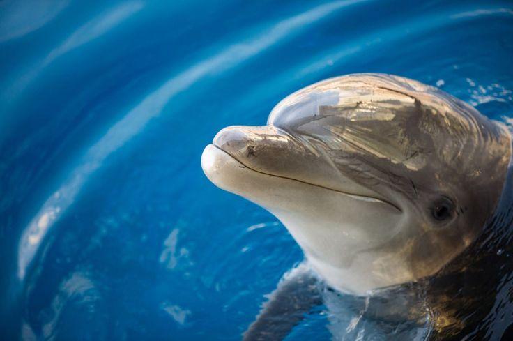 Os golfinhos vão nos ensinar uma lição: o diálogo para resolver problemas. Isso mesmo, aparentemente os animaistêm a capacidade de debater, de forma pacífica, a solução para um problema.É o que mostra os estudos dos cientistas do Instituto Dolphin Plus, na Flórida, e da Universidade de Mississipi,