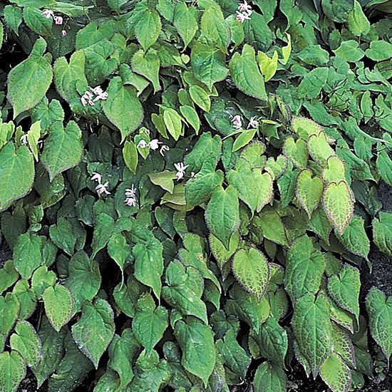55 best images about ground cover on pinterest gardens for Plants shade low maintenance