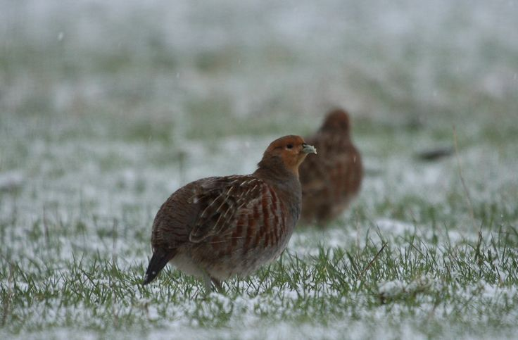 Grey Partridges by Alan Tilmouth