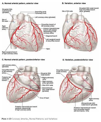5 Major Coronary Arteries   click image to enlarge)