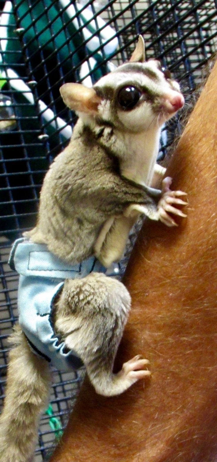 Sugar glider diaper - WOW THIS IS AWESOME SO NEED THESE