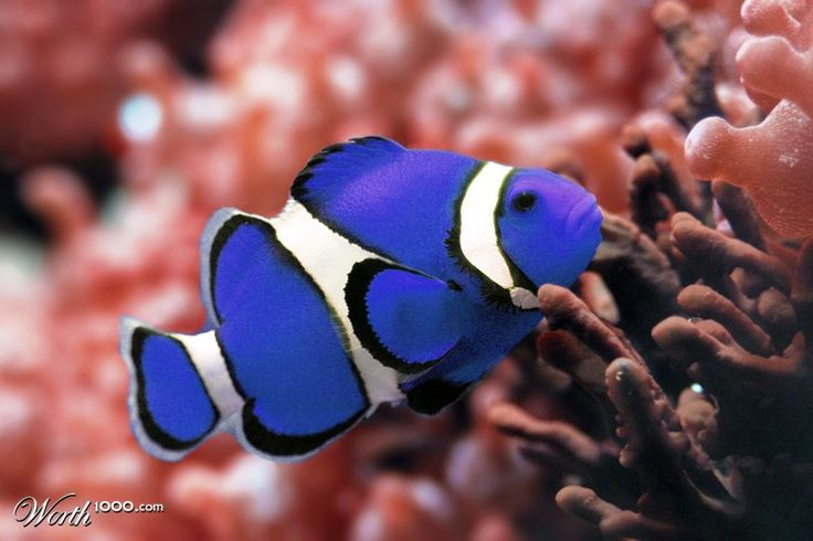 blue clown fish blue clown fish by maestrorami 36th