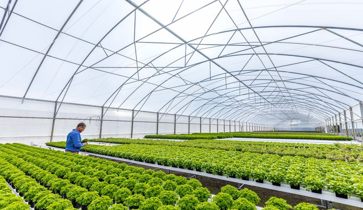 Our herbs are hydroponically grown in these vast tents - to ensure top quality all year.