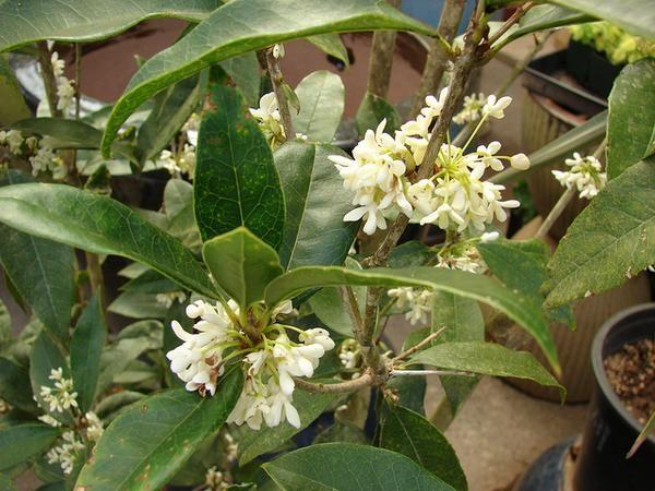 Garden Bush: 25+ Best Ideas About Sweet Olive Tree On Pinterest