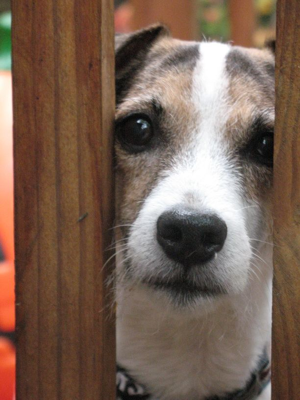 Oscar, Jack Russell Terrier