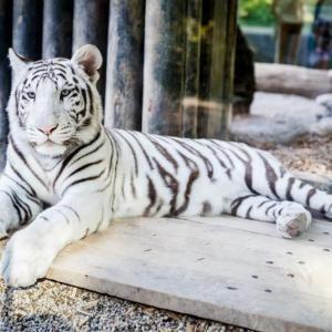 Bílý Tygr, auteur: Jan Jirouš