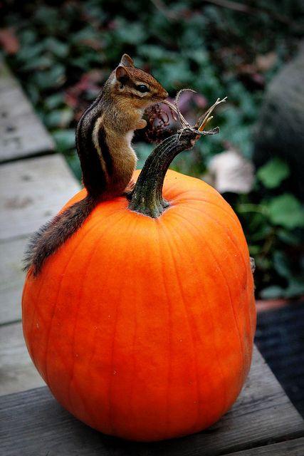 Halloween chipmunk :)