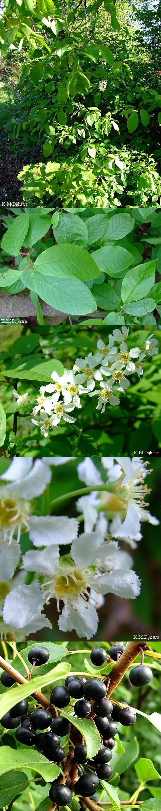 Gewone vogelkers - Prunus padus vruchten: rijk aan looizuur; wrange smaak aftreksel van schors: opwekkend middel, pijnstiller bij maagpijn