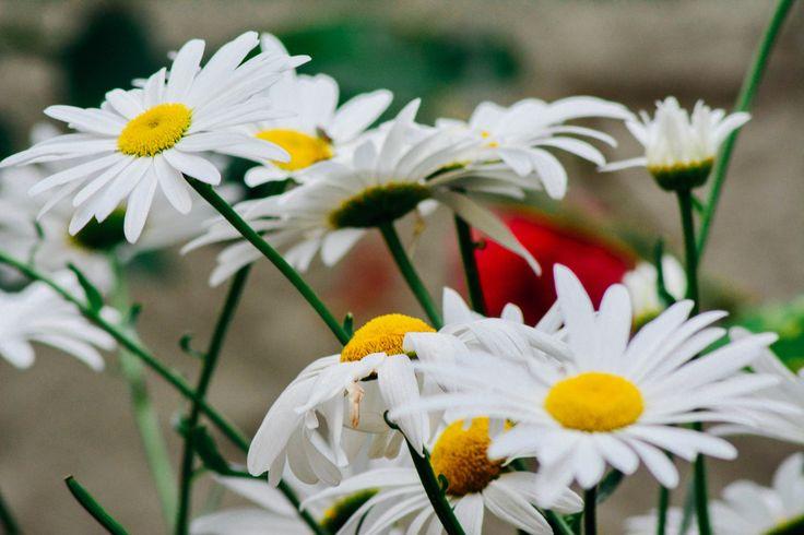 Daisies - In my grandma´s garden