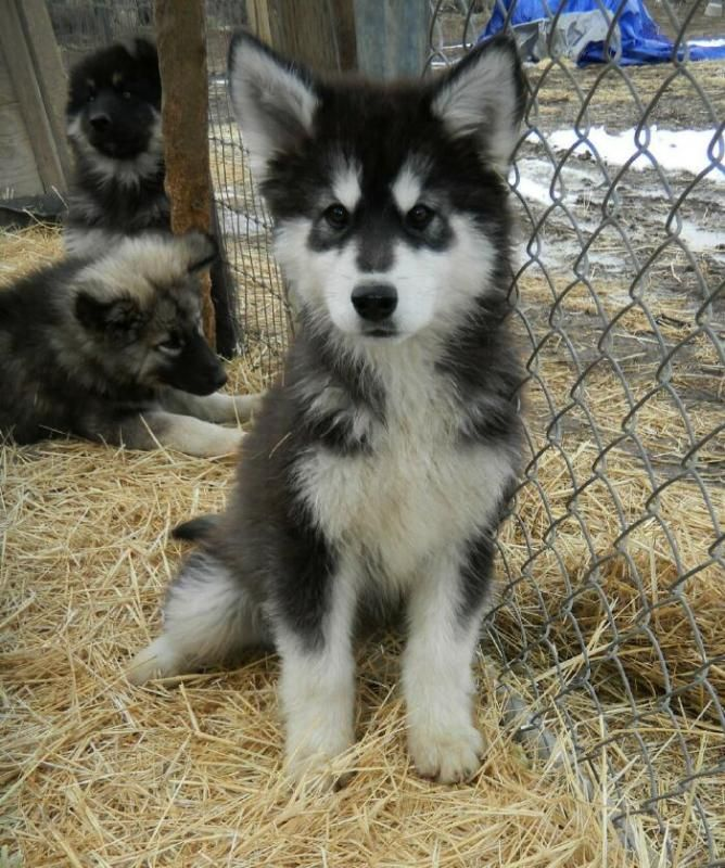 Looks so much like Apache!!! I miss my puppies so much. I will get another one as soon as I am able to.