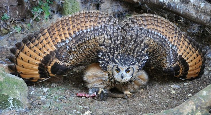 Indian Eagle-owl, also called the Rock Eagle-owl or Bengal Eagle-owl (Bubo bengalensis) mantling over the remains of a rabbit
